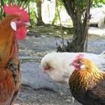 Hühnchen und Hähnchen