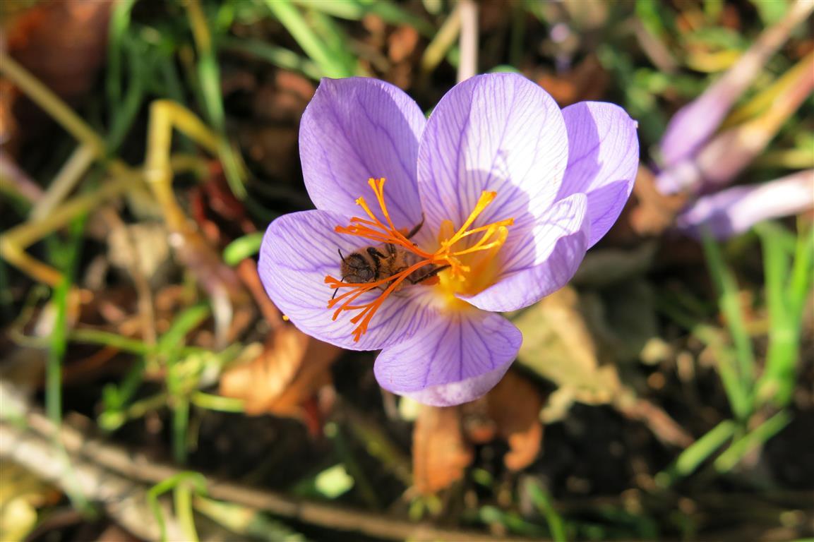 Herbstzeitlose mit Biene
