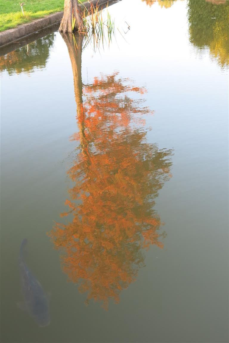 Baum mit buntem Laub spiegelt sich im Karpfenteich