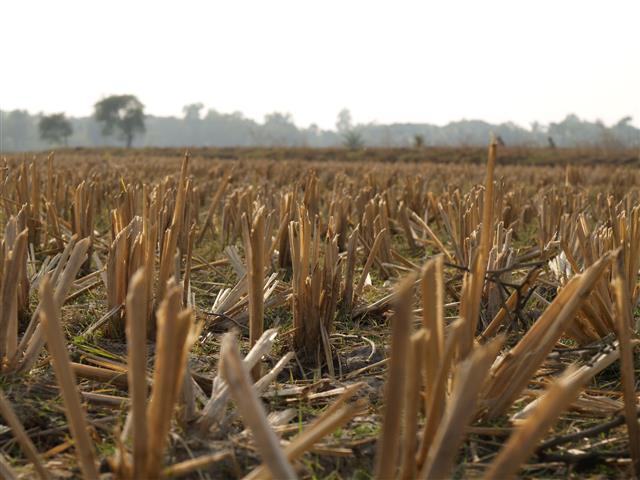 Indien abgeerntetes Reisfeld