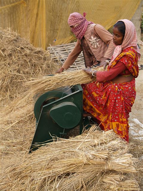 Reis dreschen in Indien