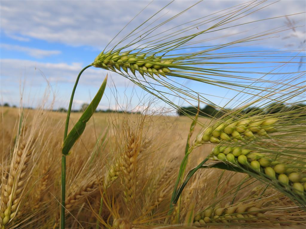 Getreidefeld an der Schlei