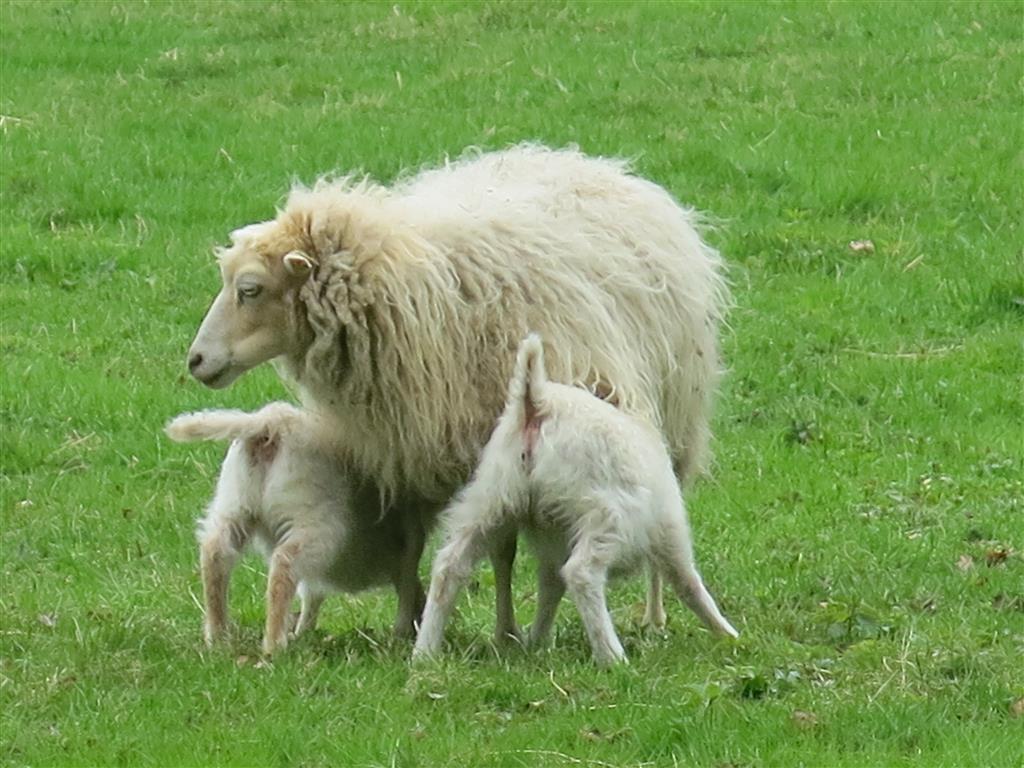 Schaf säugt zwei Lämmer