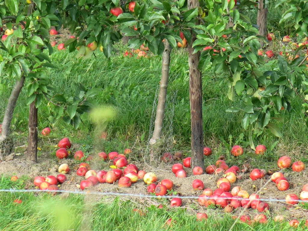 Fallobst in einer Apfelplantage