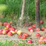 Apfelschätze: Welches Lebensmittelsystem wollen wir?