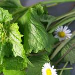 Pflück-Glück: Ich sammle … Knoblauchsrauke