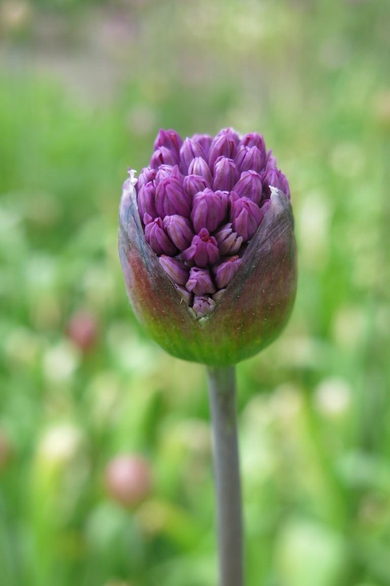 Sich öffnende Allium-Blüte im Arboretum Ellerhoop