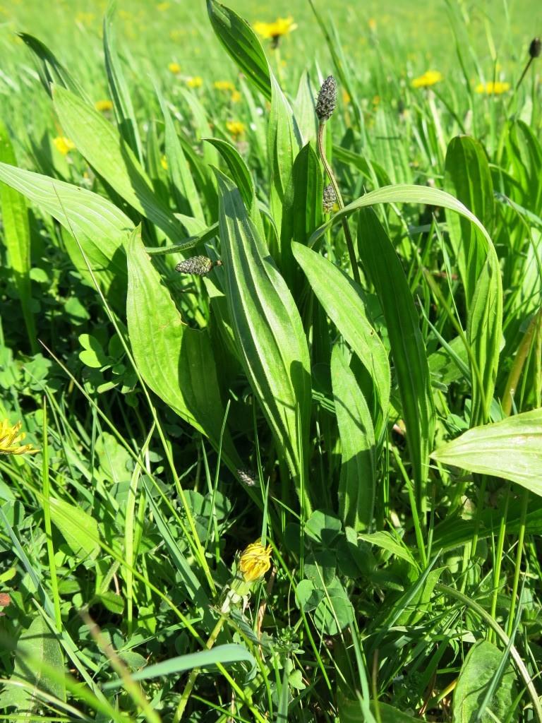 Spitzwegerichpflanze mit Knospen