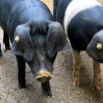 Vom Käse- zum Wurstbrot: Warum ich mich dazu verpflichtet habe, regelmäßig Fleisch zu essen