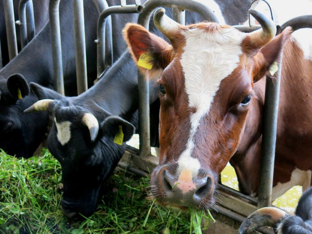 Kühe auf dem Kattendorfer Hof