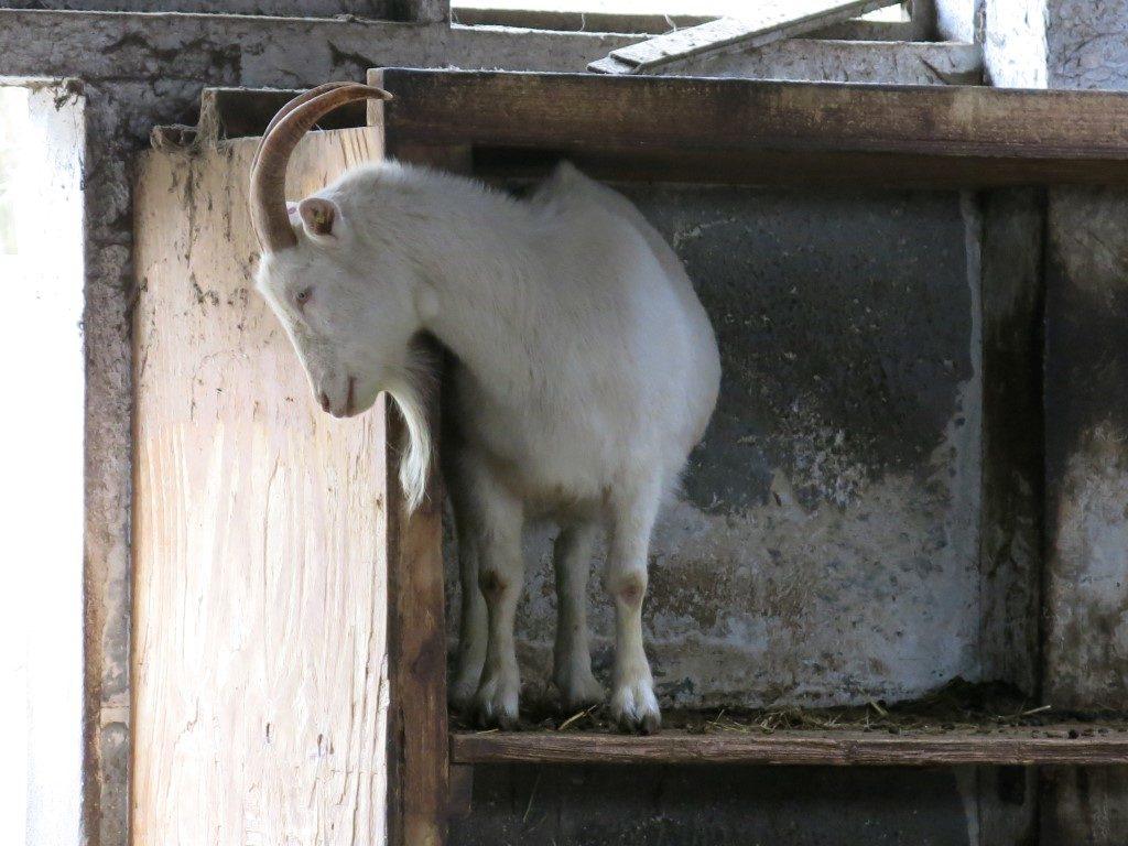 Ziege im Ziegenstall von Brodowin
