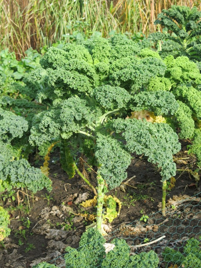 Grünkohl: Grüner Krauser im Gemüsegarten